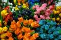 Tulpen (IHA)